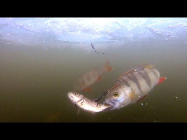 АТАКА ОКУНЯ НА ЖИВЦА | Подводная съёмка из-подо льда | Рыбалка