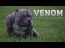 World's Best Extreme Build Pocket American Bully: Louis V Line's VENOM Chunk