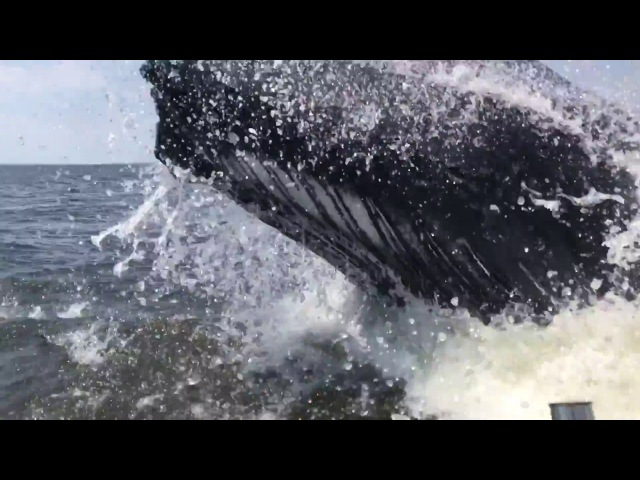 HUMPBACK WHALE BREACHES 18' FISHING BOAT IN THE NJ BAY