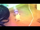 dancing hamster with bottle