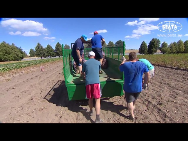 Сбор урожая картофеля в Голандии Белоруси Америке