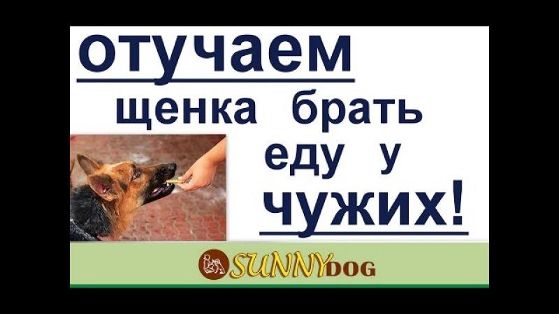 отучение щенка брать еду у чужих. как научить щенка не брать еду у людей
