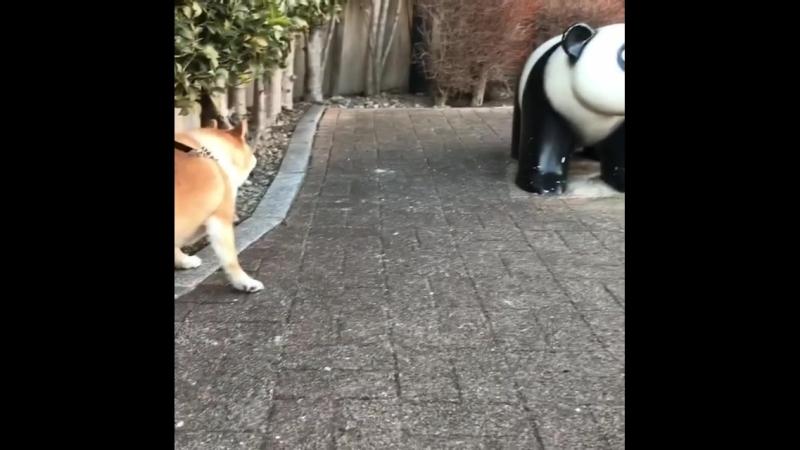 Shibe vs panda
