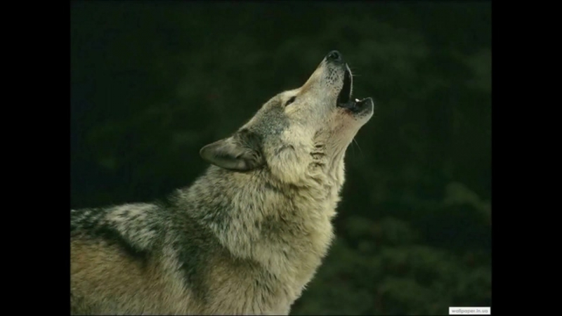 СТИХ Волк отмстил, но отомстил без крови