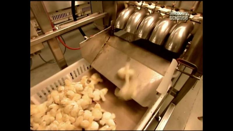 Как это сделано Цыплята