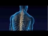 Тело человека. Позвоночник (Columna vertebralis).