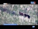 «Медвежью свадьбу» сняли на Байкале, «Вести-Иркутск»