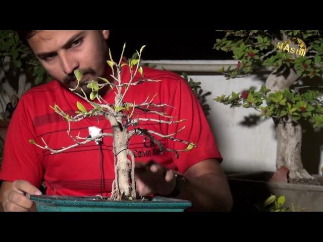 Ficus Bonsai Annual Pruning (Bonsai 3)