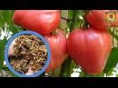 Выращивание помидоры на СУХАРЯХ и никакой ПОДКОРМКИ Настоящая находка для дачника