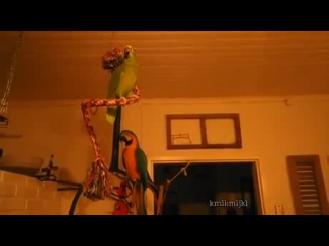 Two kinds of parrots coub