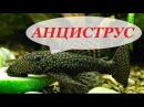 Аквариумная рыбка Анциструс, содержание анциструсов, размножение, уход, виды. Сом присоска.