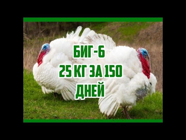 Технология выращивания бройлерных индюков БИГ - 6 за 150 дней от птенца до тушки 25 кг