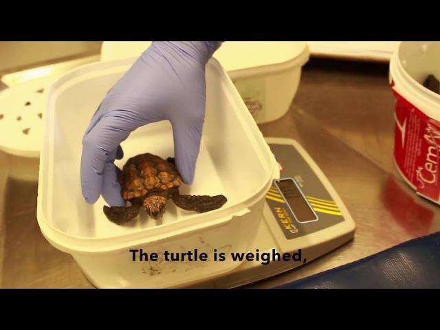 The Two Oceans Aquarium turtle rehabilitation facility in action