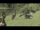 Wild Duck Dancing