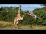 Wild Animals Fighting Lion vs Giraffe Video African Animals