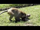 Why Kidnapper Bad doing on baby monkeys Charles- Mother Monkey Angry#193