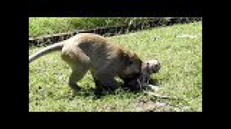 Why Kidnapper Bad doing on baby monkeys Charles?- Mother Monkey Angry193