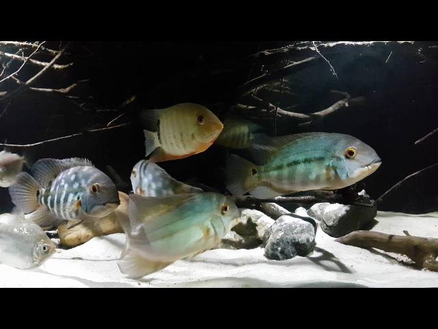 Hoplarchus Psittacus In Biotope Aquarium