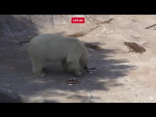 Медведица Ника предсказала результат матча Чили - Германия