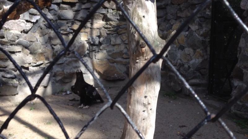 Новосибирский зоопарк. Орлан белоплечий.