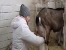 Я дою козу