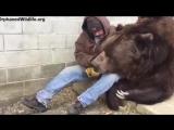 Это 24-летний медведь кадьяк Джимбо и он немного приболел.