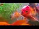 Рыбка - Гитлер