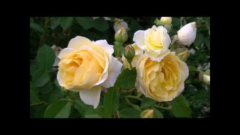 Розы в парке ТНУ Симферополь
