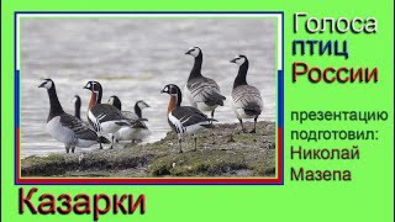 Казарки. Голоса птиц России