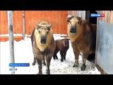 Вести-Москва  •  В Московском зоопарке родился детеныш сычуаньского такина