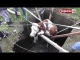 vaca salvata dejeanul