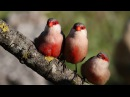 Восхитительное пение птиц в утреннем лесу Усыпляющие звуки природы Как поют птицы в лесу Birdsong