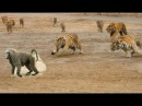 Wow Tiger Attack Fast : Elephant , Deer , Buffalo , Monkey , Wild Boar - Tiger Fail Monkey