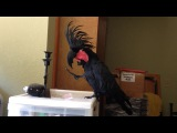 Black Palm Cockatoo Loves the B-52's