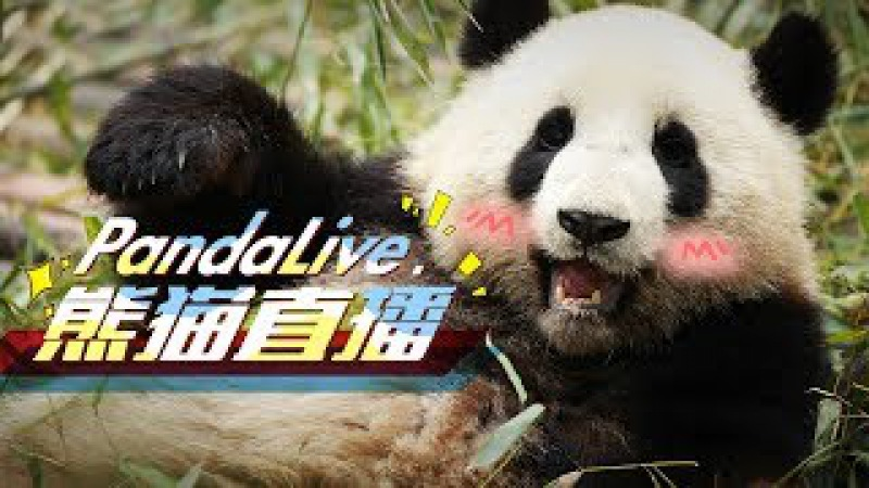 24 7 HD Panda Live @ iPanda