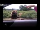 Приветливый медведь Funny bear