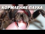 Кормление паука птицееда - Брахипельма альбопилозум! Tarantula Feeding - Brachypelma albopilosum