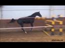 Akhal teke stallion Siyavush Shael Ахалтекинский жеребец Сиявуш Шаэль