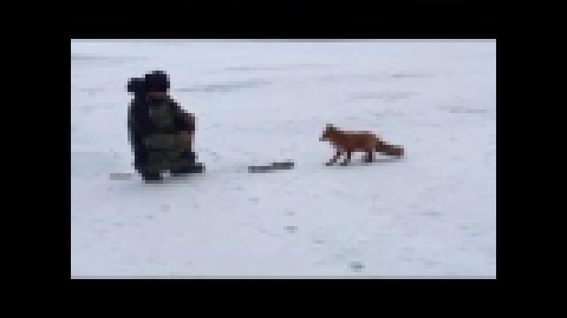 Лиса ворует рыбу - пришла к рыбакам на лёд