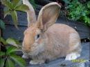 Картофель один из основных видов корма для кроликов