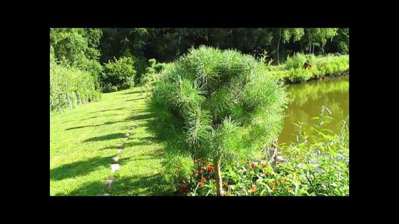 РЕЗУЛЬТАТ ОБРЕЗКИ СОСНЫ Формирование кроны сосны ч 2 How to pruning pine