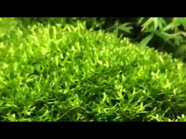 Риччия плавающая (Riccia fluitans)