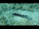 Трепанг, морской огурец Holothuroidea -1