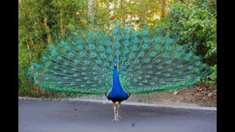 Income billions from 400 Indian peafowl - Thu nhập tiền tỷ từ 400 con chim công ấn độ