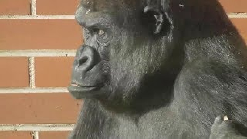 Lope The Gorilla Is Having A Boisterous Day And Mum Is Not Happy