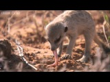 Ernesto, the snake-bitten meerkat's miraculous story - Planet Earth Live - BBC One