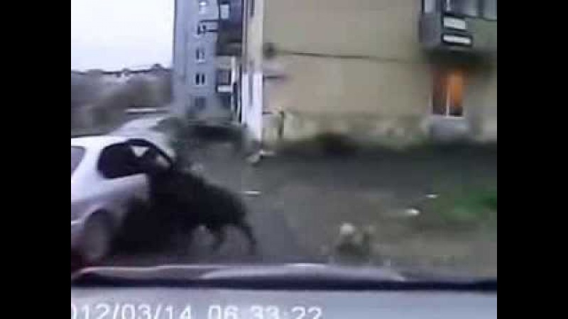кабан напал на женщину в Находке wild boar attacked a woman in Nakhodka