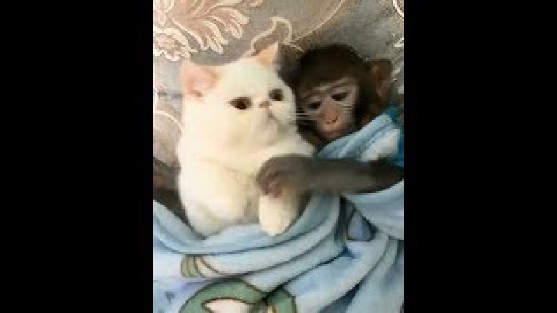 Funny pocket monkey and his wife-The warmest monkey video 2017