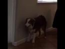 Этой собаке дали морфий у ветеринара Посмотрите на его глаза