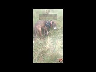 Последствия охоты на кабана. ОСТОРОЖНО КРОВЬ И ОТКРЫТЫЕ РАНЫ ЖИВОТНЫХ!!!